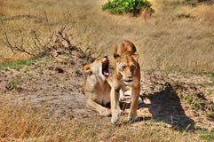 狮子夫妇在马塞人玛拉国家公园,肯尼亚 免版税图库摄影