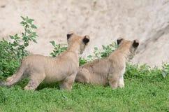 狮子孪生 免版税库存图片