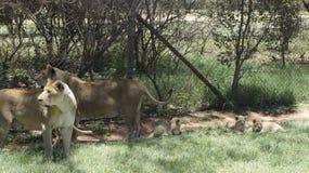 狮子家庭与的崽在自然环境里 免版税库存照片