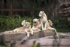 狮子家庭小组在动物园里 免版税库存照片