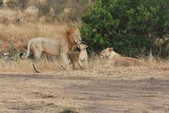 狮子家庭 免版税库存照片