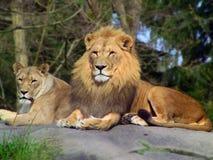 狮子对 免版税库存图片