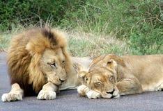 狮子对 免版税库存照片