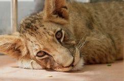 狮子小查找的摄影师 库存图片