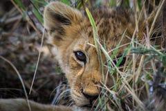 狮子小狗 免版税库存照片