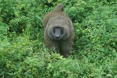 狮子尾巴猴子 免版税图库摄影