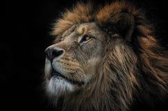 狮子巴巴里人 免版税库存照片
