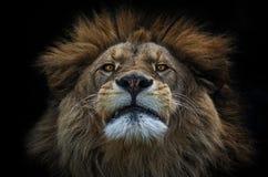 狮子巴巴里人 库存图片