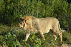 狮子年轻人 库存照片