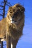 狮子年轻人 免版税库存照片
