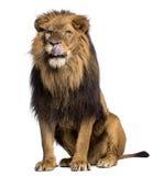 狮子开会,舔,豹属利奥, 10岁 免版税库存照片