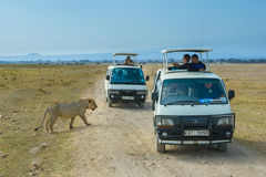 狮子徒步旅行队在安博塞利国家公园,肯尼亚 库存图片