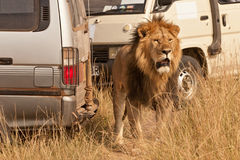 狮子徒步旅行队 库存照片