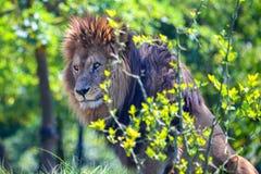 狮子或豹属利奥特写镜头  免版税库存照片