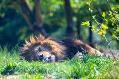 狮子或豹属利奥特写镜头  免版税库存图片