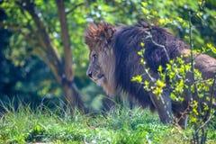 狮子或豹属利奥特写镜头  库存图片
