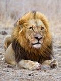 狮子战士 免版税库存照片