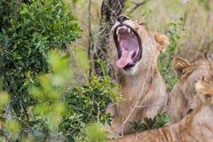 狮子打呵欠的南非野生生物 免版税图库摄影