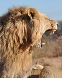 狮子打呵欠的年轻人 免版税库存照片