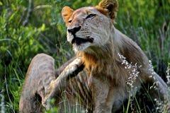 狮子抓 图库摄影