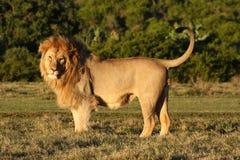 狮子摆在 免版税库存照片
