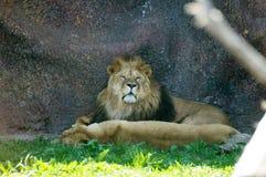 狮子放松 库存照片