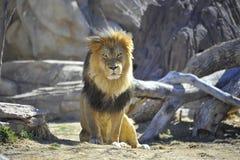 狮子放松 免版税库存图片