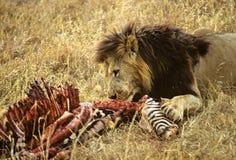 狮子斑马 免版税库存图片