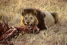 狮子斑马 库存照片