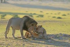 狮子族长摩擦面孔或亲吻与雌狮 库存图片