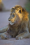 狮子日出 库存图片