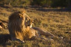 狮子日落 免版税库存照片