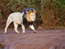 狮子最初 免版税库存图片