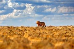 狮子步行 非洲狮子,豹属利奥,细节大动物,Etocha NP,纳米比亚,非洲画象  猫在干燥自然栖所, 图库摄影