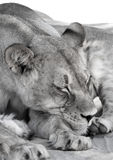 狮子母亲午睡 免版税图库摄影