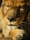 狮子泪花 免版税图库摄影
