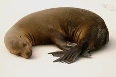 狮子海运休眠 库存图片