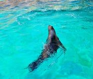 狮子海运游泳 免版税库存照片