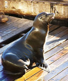 狮子海运 库存图片