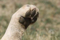 狮子爪子 库存照片