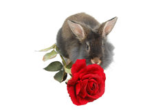 狮子爱恋的兔子 库存图片