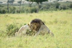 狮子爱 免版税图库摄影