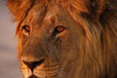 狮子爸爸关闭壮观的自豪感  库存图片