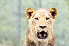 狮子特写镜头画象  免版税库存图片
