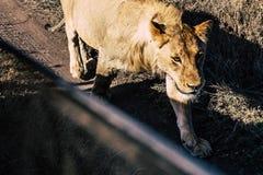 年轻狮子特写镜头 库存图片