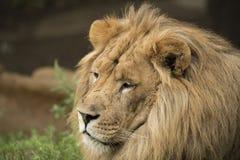 狮子特写 库存照片
