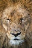 狮子特写 免版税图库摄影