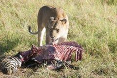 狮子牺牲者 免版税库存图片