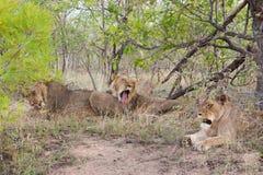狮子狂放的自豪感在UAR的全国克鲁格公园 免版税库存照片