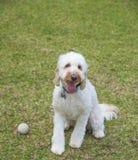 狮子狗,小狗,长卷毛狗小狗戏剧玩具球 免版税图库摄影